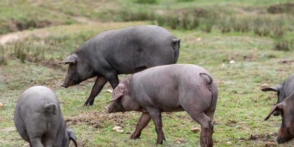 ¿Cuál es la diferencia entre el jamón serrano y el jamón ibérico?